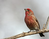 House Finch @ Home – March 2011