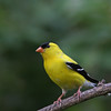 American Goldfinch @ Home - May 2011