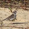 Lark Sparrow @ Oak Openings MP - May 2010