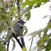 Lark Sparrow @ Oak Openings, May 2010