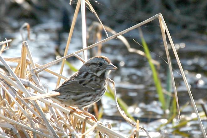 Song Sparrow @ Glacier Rdige Metro Park