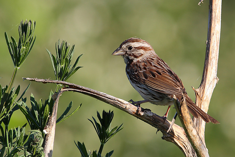 Song Sparrow @ OSU West Campus - May 2009