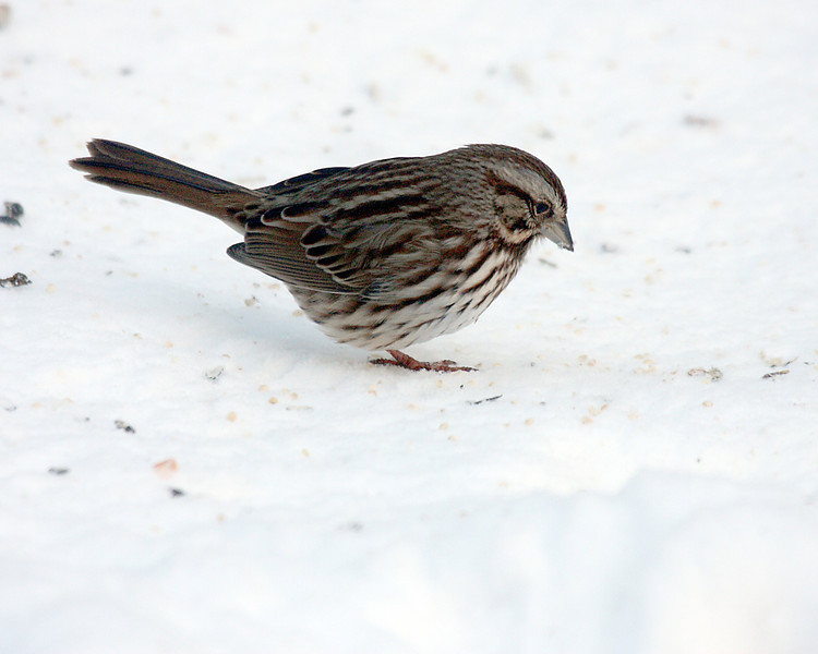 Song Sparrow @ Blendon Woods Metro Parks - January 2009