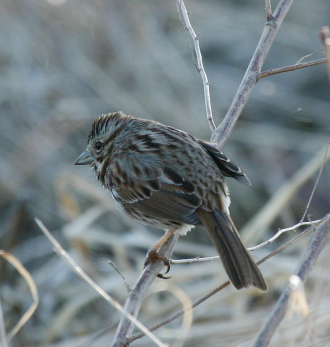 Song Sparrow @ Glacier Ridge Metro Park, April 2005