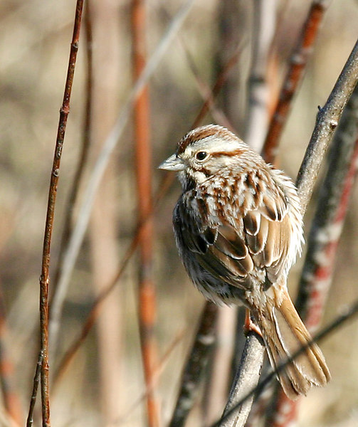 Song Sparrow @ Killdeer WA