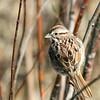 Song Sparrow @ Killdeer WA