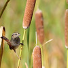 Swamp Sparrow @ Snipe Marsh, Deleware OH - Oct 2010