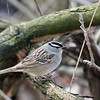 White-crowned Sparrow @ Magee Marsh Wildlife Area - May 2009