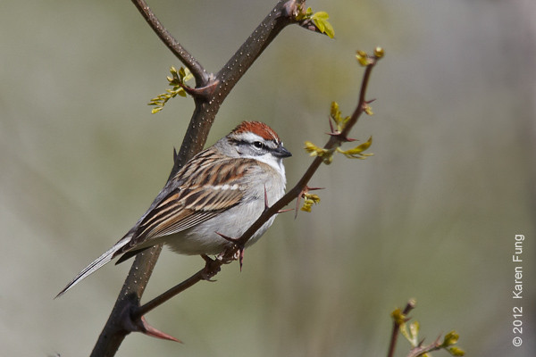2 April: Chipping Sparrow in Central Park