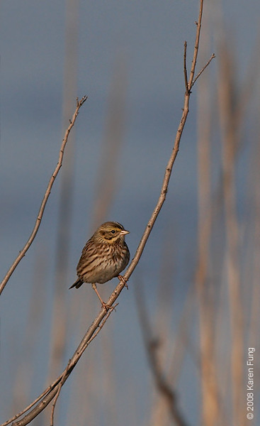 Nov 28th: Savannah Sparrow at Bombay Hook NWR, Delaware