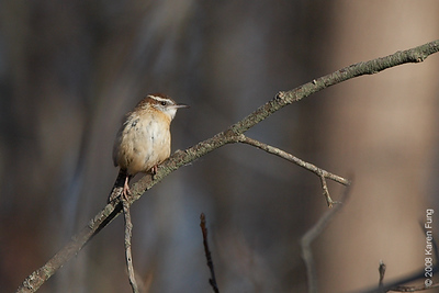 Nov 29th: Carolina Wren at Bombay Hook NWR, Delaware