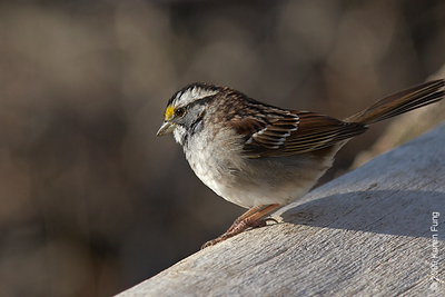 April 12th: White-throated Sparrow in Riverside Park