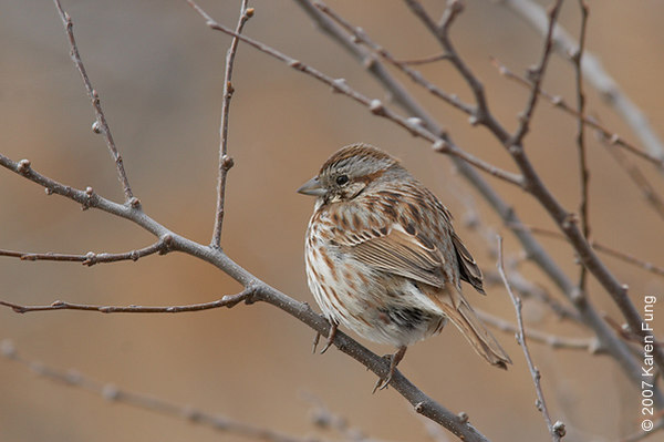 Song Sparrow in Piermont, NY
