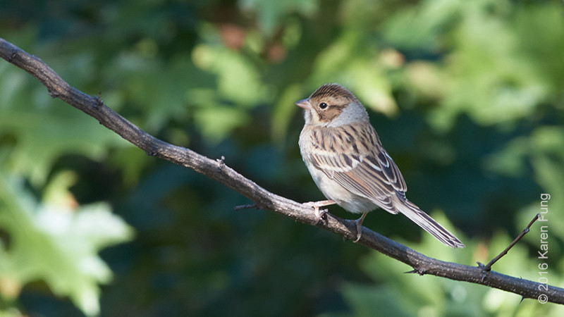 25 Sept: Clay-colored Sparrow in Central Park