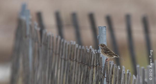 27 October: Vesper Sparrow at Jones Beach