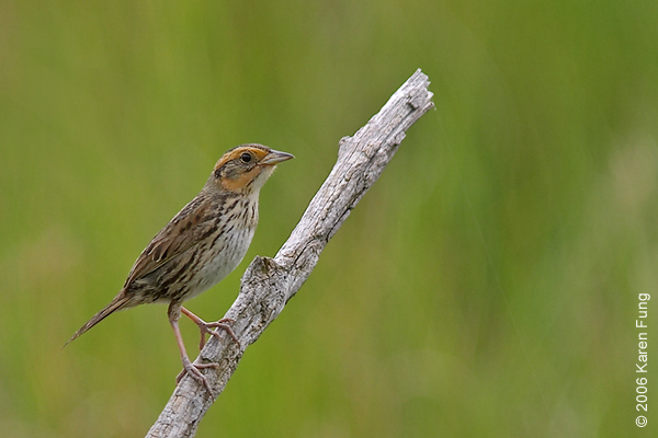 Saltmarsh Sparrow at the Marine Nature Study Area in Oceanside, NY