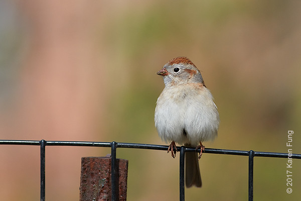 16 April: Field Sparrow