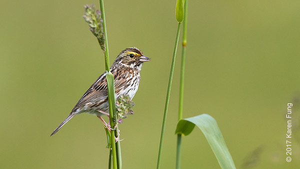 4 June: Savannah Sparrow