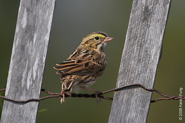 Oct 11th:  Savannah Sparrow at Jones Beach