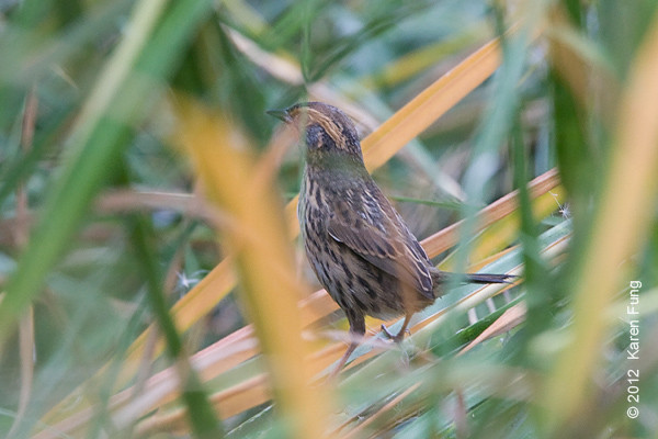 27 October: Saltmarsh Sparrow on Randall's Island.  Orange wash on flank more visible in this photo.