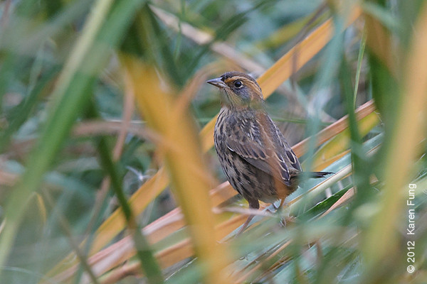 27 October: Saltmarsh Sparrow on Randall's Island.  A few more images of this bird are in the Sparrows Gallery.