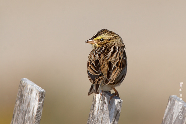 17 Oct: Savannah Sparrow at Jones Beach