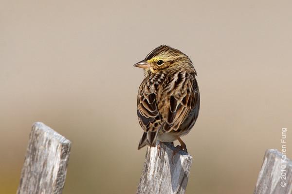 17 Oct: Savannah Sparrow at Jones Beach