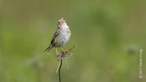 4 June: Henslow's Sparrow