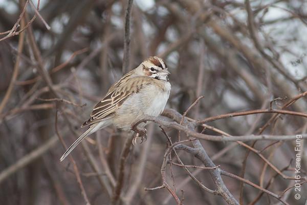 7 Feb: Lark Sparrow at Jones Beach West End