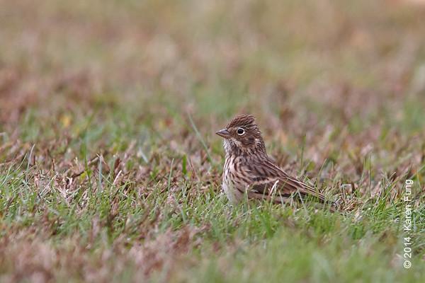 2 Nov: Vesper Sparrow in Van Cortlandt Park