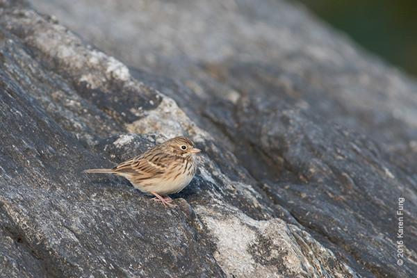 18 Oct: Vesper Sparrow in Central Park