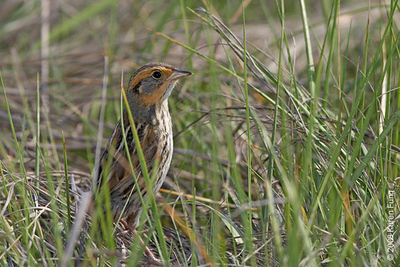 June 7th:  Saltmarsh Sparrow at the Oceanside Marine Nature Study Area