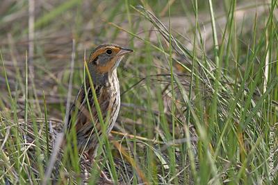 June 7th:  Saltmarsh Sparrow at the Oceanside Marine Nature Study Area