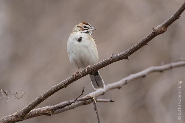 21 Feb: Lark Sparrow at Croton Point Park, Westchester