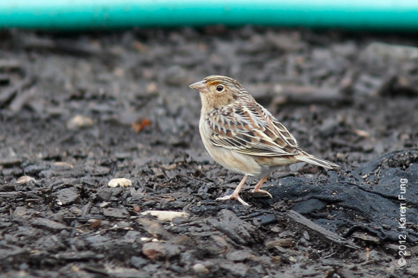 29 September: Grasshopper Sparrow in Central Park, found by Matthew Rymkiewicz.  Rare for NYC.
