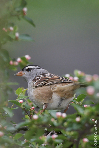 White-crowned Sparrow in Central Park (Falconer's Hill)