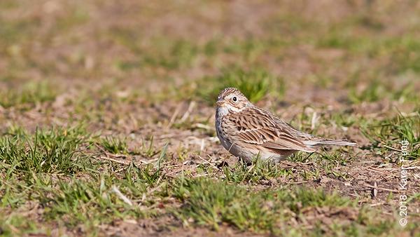 8 April: Vesper Sparrow, Central Park (Great Hill)