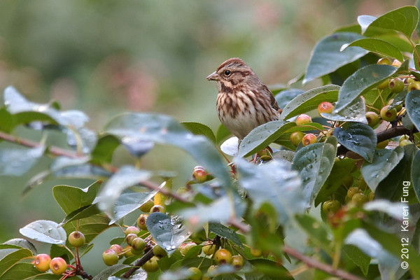 30 September: Song Sparrow in Central Park