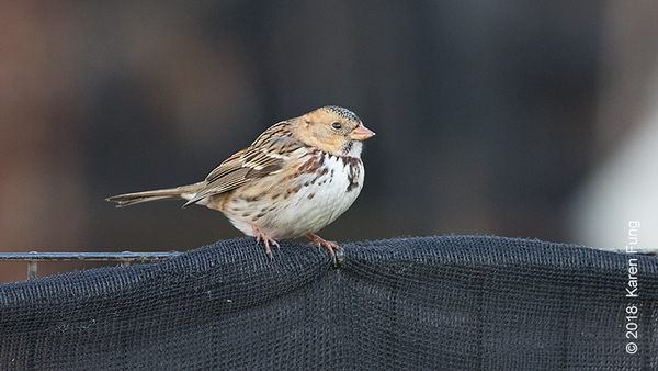 4 Nov: Harris's Sparrow in Central Park