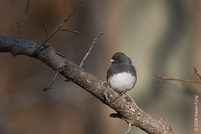Nov 29th: Dark-eyed Junco at Bombay Hook NWR, Delaware