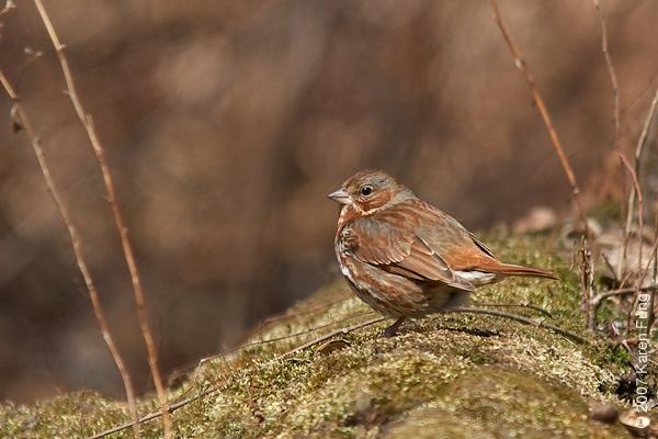 Fox Sparrow in Central Park