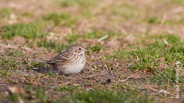 8 April: Vesper Sparrow, Central Park (Great Hill)