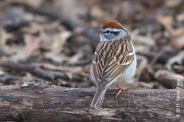 9 April: Chipping Sparrow in Central Park