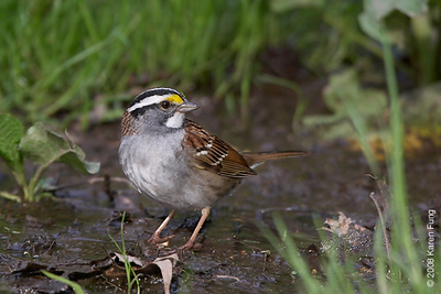 "White-throated Sparrow at the Riverside ""drip"""