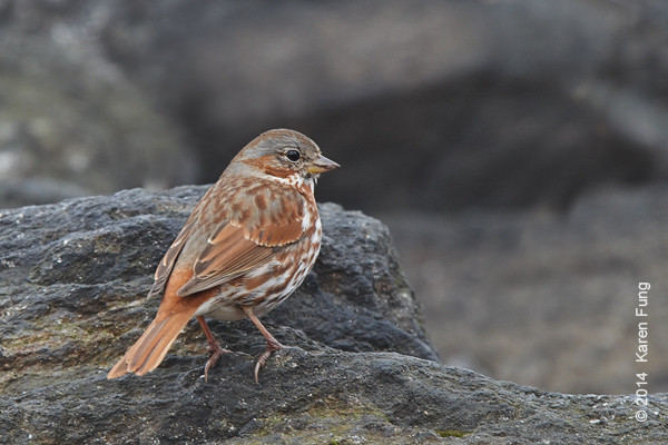 22 March: Fox Sparrow in Central Park