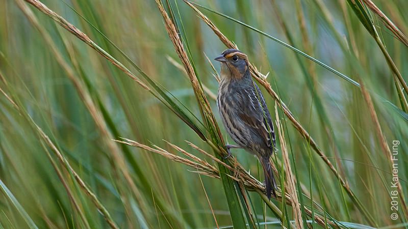 2 Oct: Ammodramus Sparrow, Randall's Island