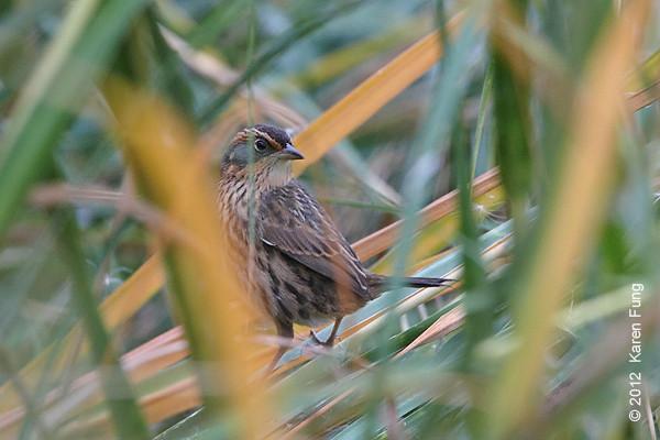 27 October: Saltmarsh Sparrow on Randall's Island