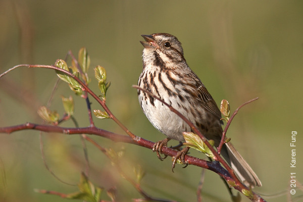 1 May: Song Sparrow singing in Central Park