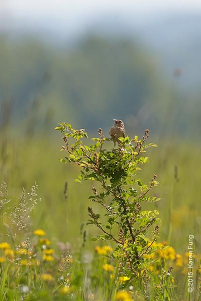 25 May: Grasshopper Sparrow singing at Shawangunk Grasslands NWR
