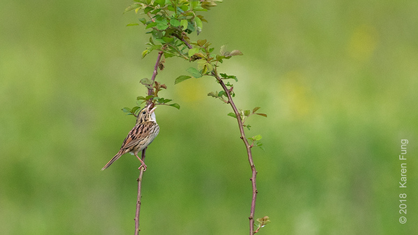2 June: Henslow's Sparrow at Shawangunk Grasslands NWR